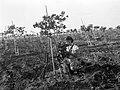 A MEMBER OF KIBBUTZ NA'AN PRUNING TREES. חברת קיבוץ נען גוזמת עצים.D403-136.jpg