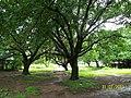 A Maze of Banyan Trees near the Hanuman Hill Slope - panoramio.jpg