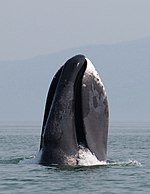 A bowhead whale breaches off the coast of western Sea of Okhotsk by Olga Shpak, Marine Mammal Council, IEE RAS.jpg