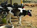 A calf in market1.JPG