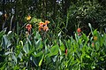 A closer view of the canna flowers (35777120084).jpg