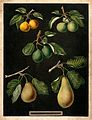 A collection of pears (Pyrus species). Colour and coloured e Wellcome V0043103.jpg