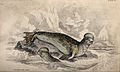 A crested seal is sitting on a rock in the water while anoth Wellcome V0020769.jpg