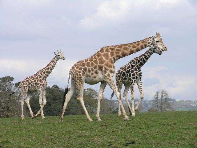 A family of giraffes at Fota Wildlife Park (geograph 2885200)
