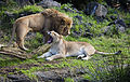 A lion with full mane and a lioness yawning, Auckland - 0555.jpg