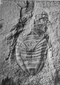 A monograph of the terrestrial Palaeozoic Arachnida of North America photos 76 76.png
