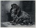 A pet dog sitting and looking up with an expectant gaze. Ste Wellcome V0020846.jpg