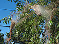 A webbed nest of something in a tree (2823498895).jpg