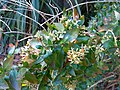 Abelia X Grandiflora 6.jpg