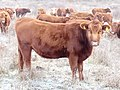 Aberdeen angus heifer cattle with herd of cattle in background.-.jpg