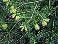 Abies alba leaf.jpg