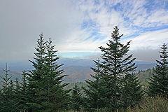 Abies fraseri Blue Ridge in NC.jpg