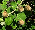 Abutilon eremitopetalum (5644563052).jpg