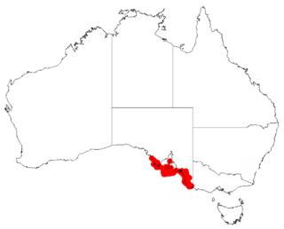 <i>Acacia leiophylla</i> Species of plant