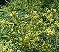Acacia retinoides2LEST.jpg