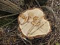Acacia tree stump.JPG