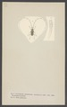 Acanthocinus - Print - Iconographia Zoologica - Special Collections University of Amsterdam - UBAINV0274 001 10 0050.tif