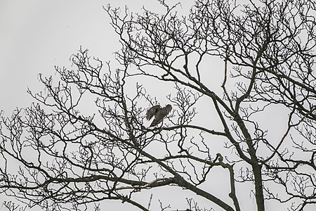 Accipiter nisus, Lodz (Poland) 02(js).jpg