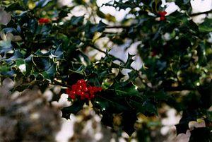 Ilex aquifolium - European holly foliage with berries