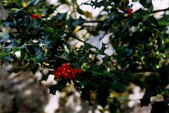 Ilex aquifolium - European holly foliage with berries