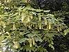 Acer pseudoplatanus RJB