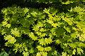 "Acer shirasawanum ""aureum"".jpg"
