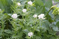 Achillea macrophylla27062005
