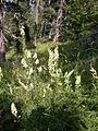 Aconitum vulparia (13473809455).jpg