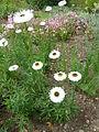 Acroclinium roseum 'Peirrot' (Compositae) plant.JPG