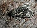 Acronicta megacephala - Poplar grey - Стрельчатка серая (41011642662).jpg