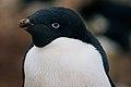 Adélie Penguin in East Antarctica.jpg