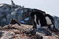 Adelie penguin (Pygoscelis adeliae) and chick.jpg