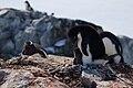 Adelie penguin (Pygoscelis adeliae) and chick.jpg