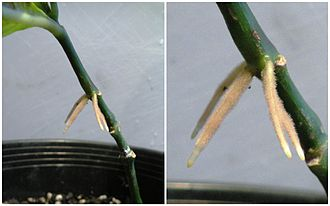 Plant development - Roots forming above ground on a cutting of Odontonema aka Firespike