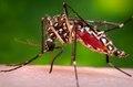 Aedes aegypti CDC03.tif