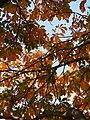 Aesculus marylandica Kasztanowiec marylandzki 2014-10-12 04.jpg