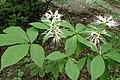 Aesculus parviflora kz10.jpg
