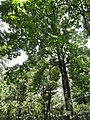 Aesculus wangii - Kunming Botanical Garden - DSC02928.JPG