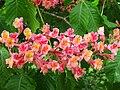 Aesculus x carnea cv. Briotti (Red Horsechestnut).jpg