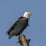 African fish eagle (Haliaeetus vocifer) Ethiopia.jpg