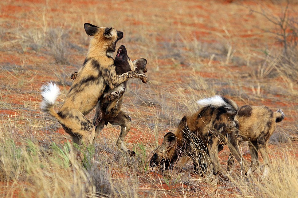 African wild dog (Lycaon pictus pictus) play fighting