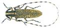 Agapanthia persica Semenov, 1893.png