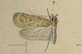 Agonopterix cinerariae.png