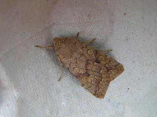 <i>Agrochola circellaris</i> Species of moth