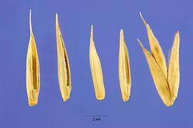 Agropyron desertorum seeds.jpg