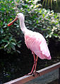 Ajaja ajaja - Papiliorama, Swiss Tropical Gardens - 20100417.jpg