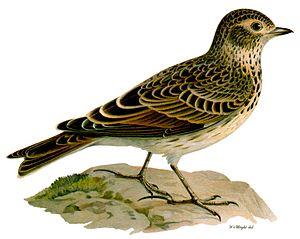 Eurasian skylark - Skylark