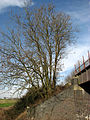 Alders on railway embankment - geograph.org.uk - 669871.jpg