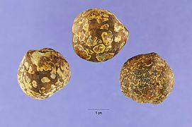 Aleurites moluccana seeds.jpg