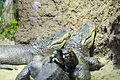 Aligátor americano (Alligator mississippiensis), Tierpark Hellabrunn, Múnich, Alemania, 2012-06-17, DD 01.JPG